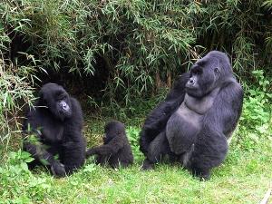 Familie de gorile